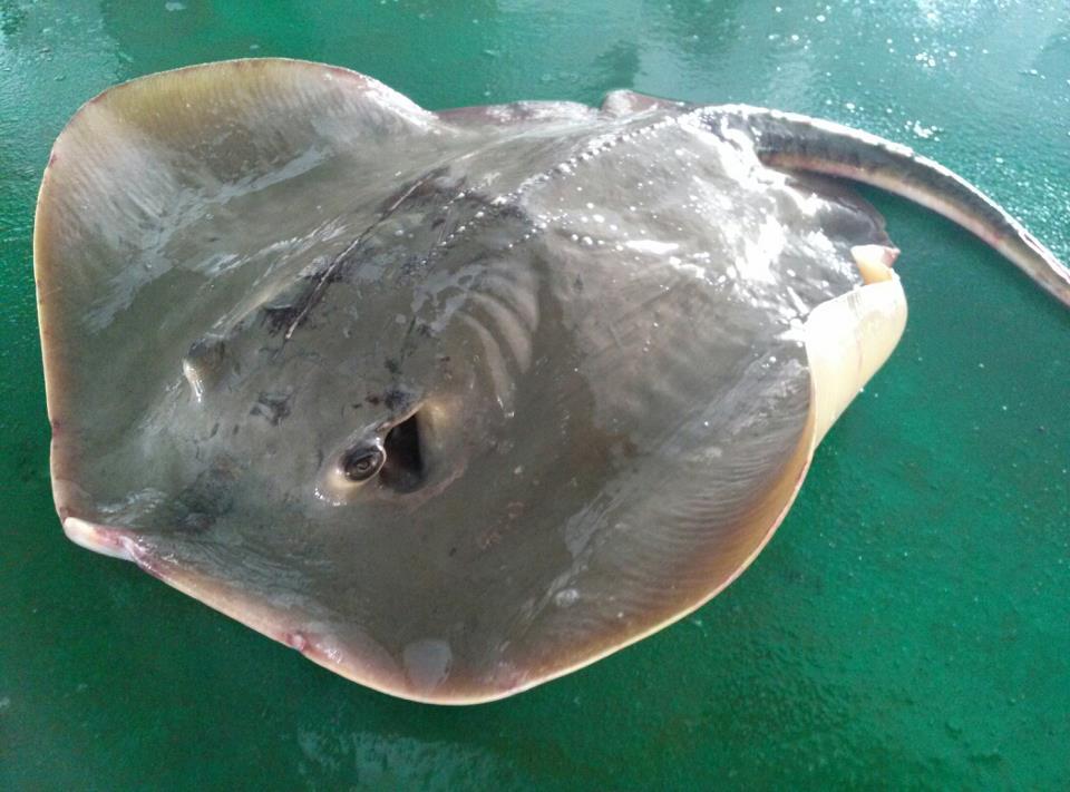 潜水员遭遇巨型魟鱼温柔啃咬 身体完全被遮住